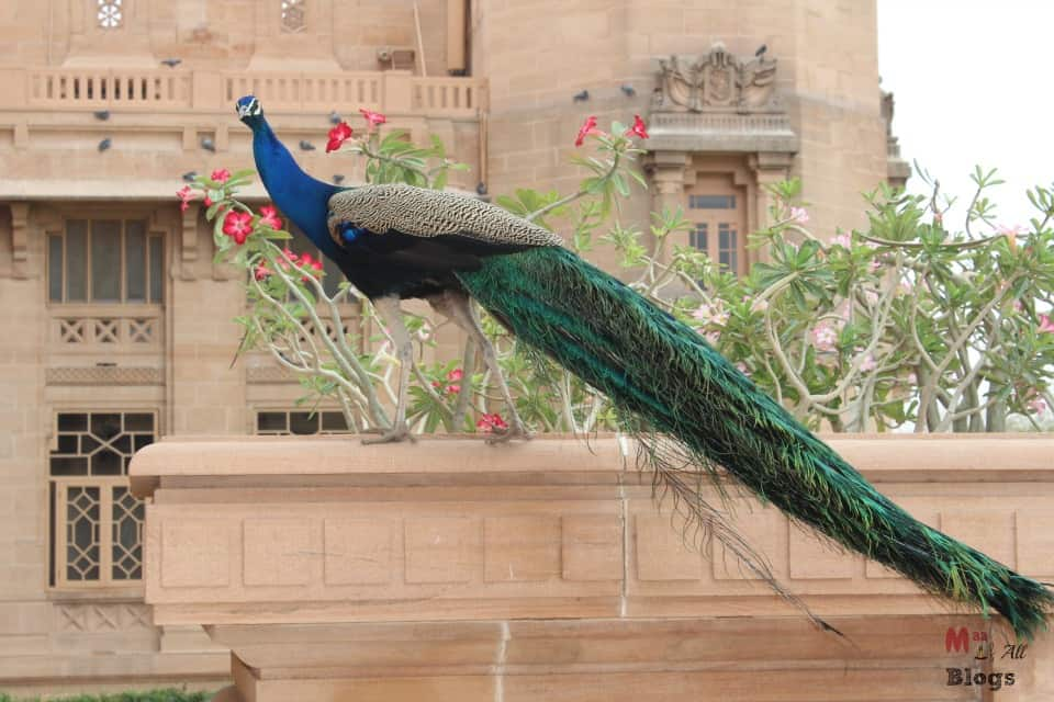 Jodhpur Umaid Bhawan Palace peacock